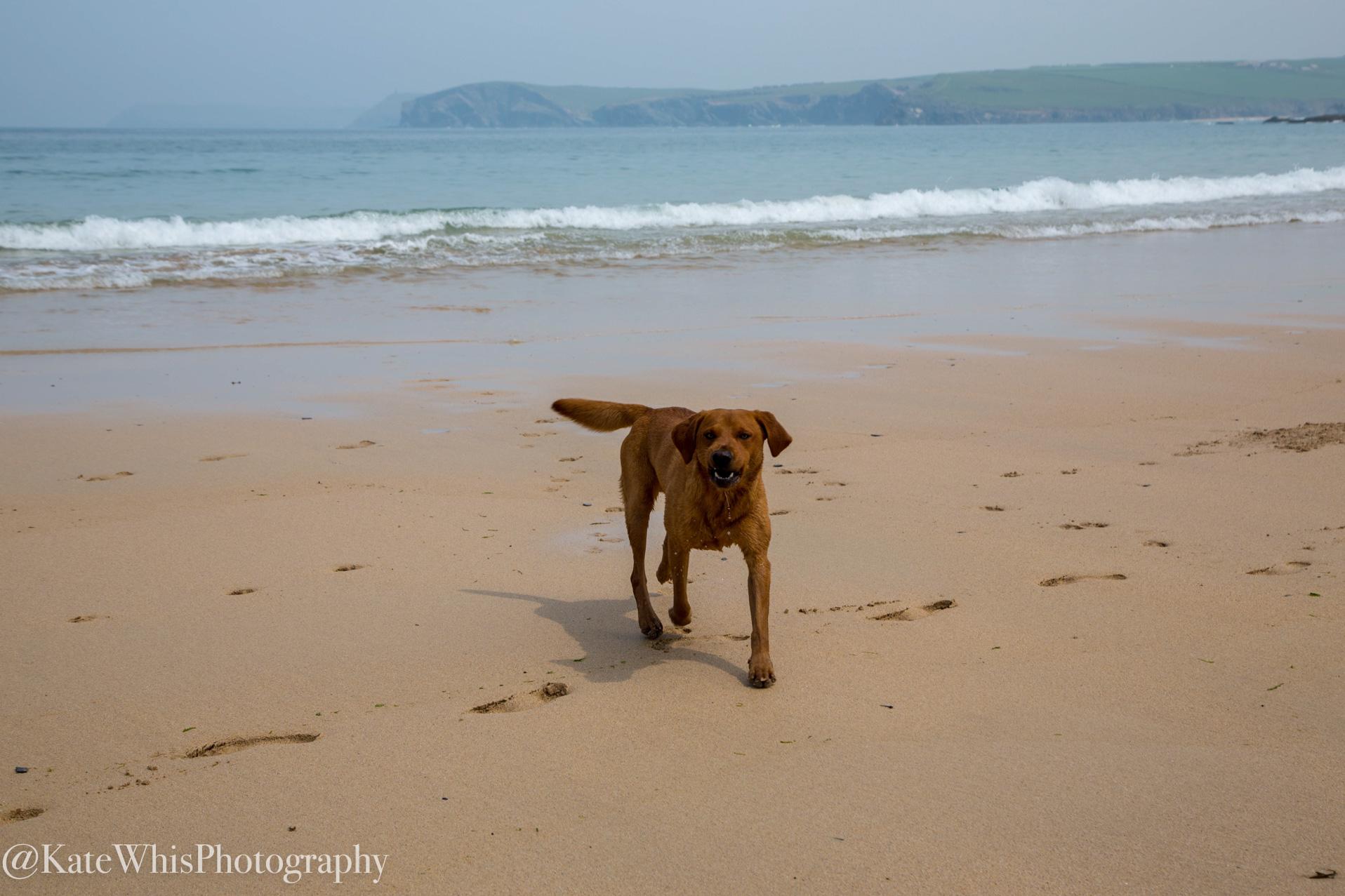 Dog on the beach at Harlyn Bay