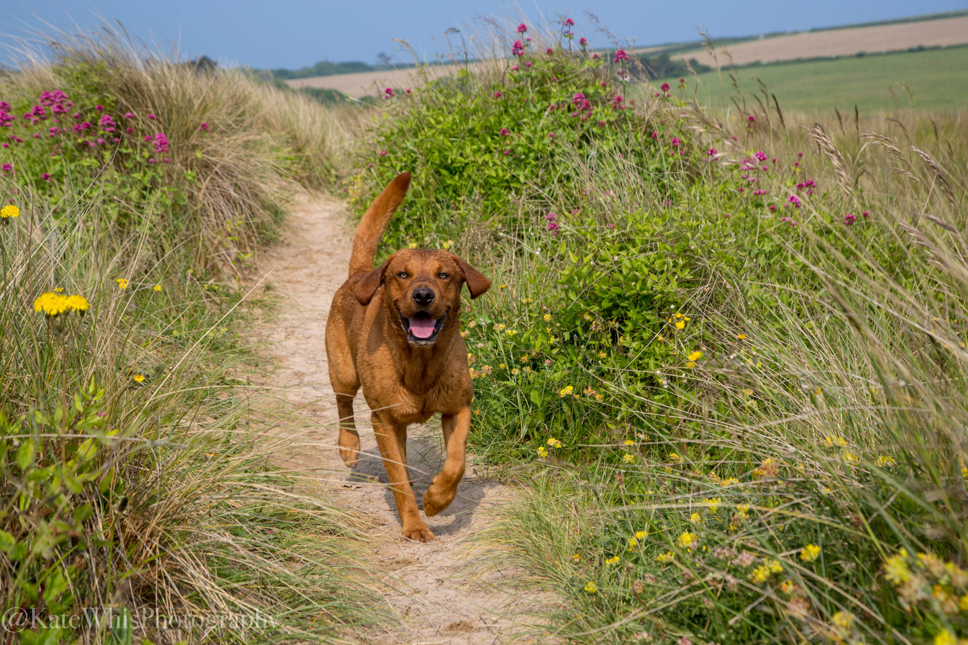 Dog running through the sand dunes at Tregirls