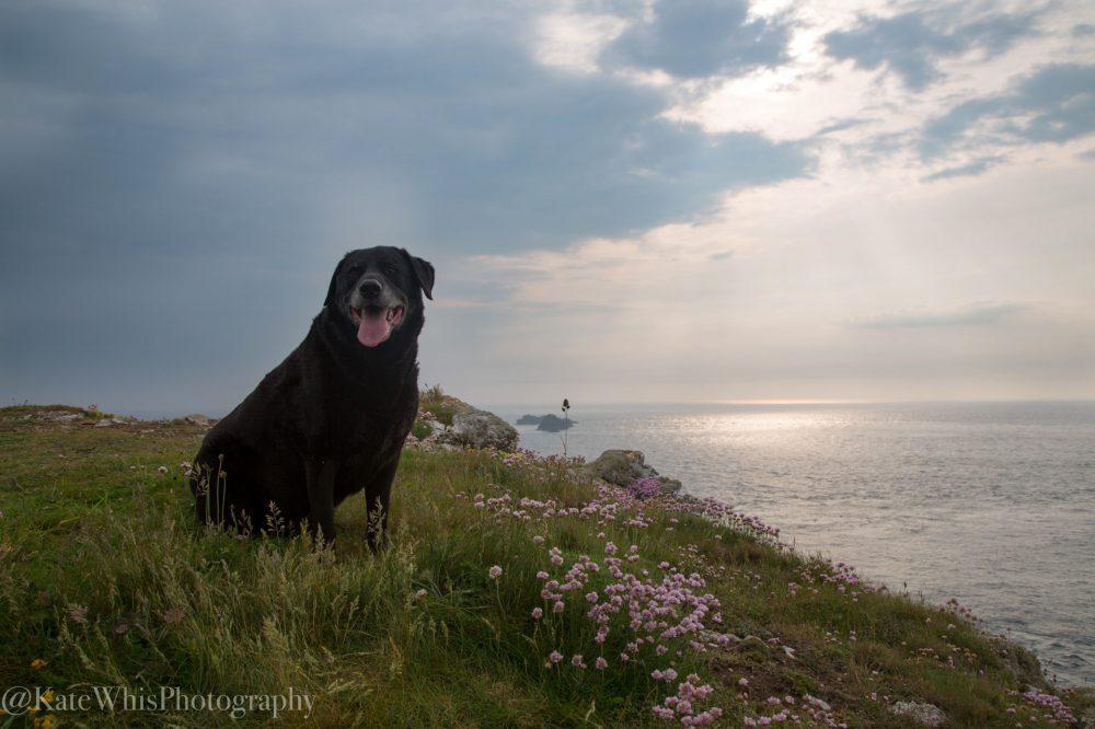 Dog sat on the cliffs at Trevose Head