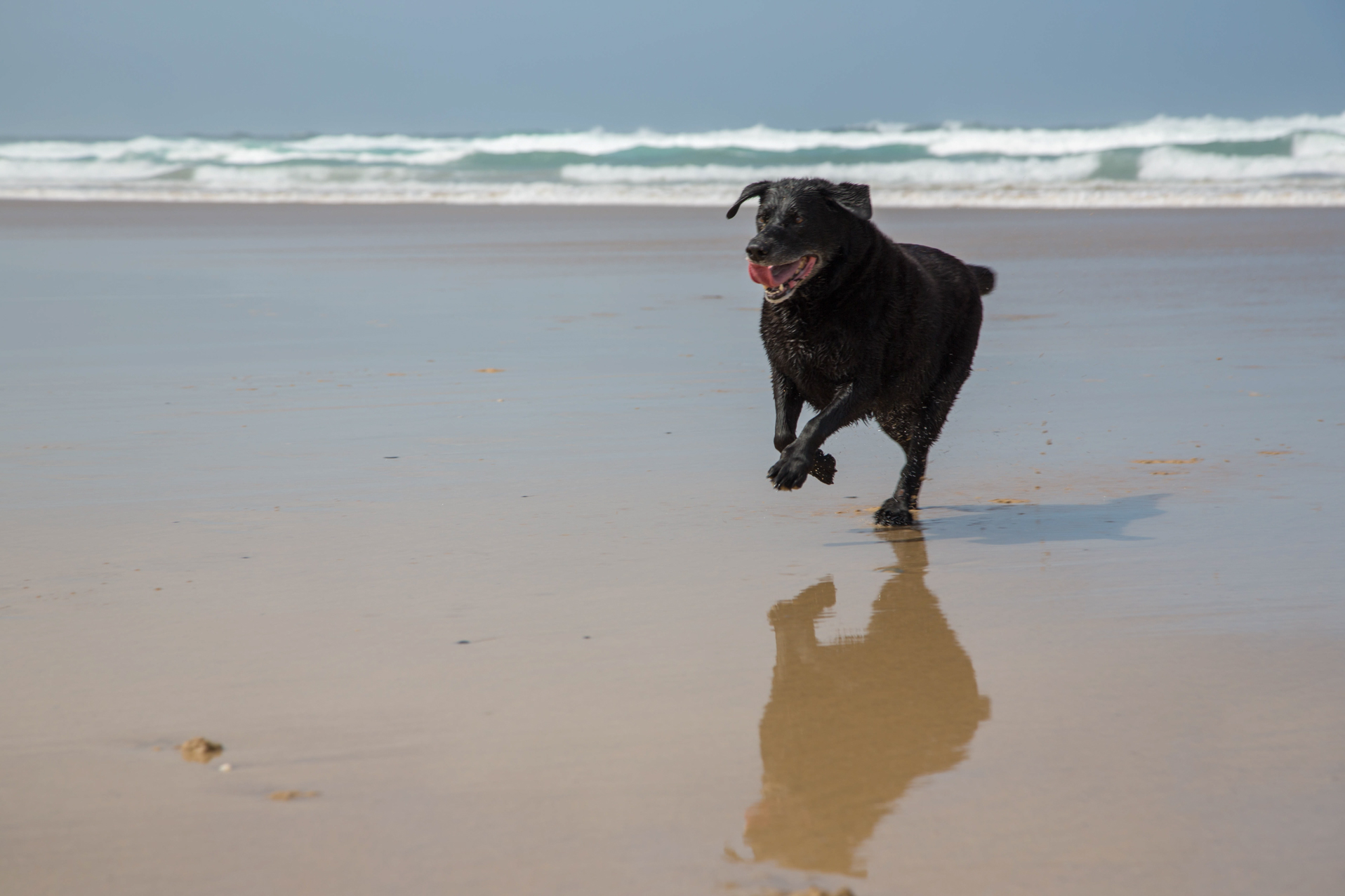 Dog running on Treyarnon beach