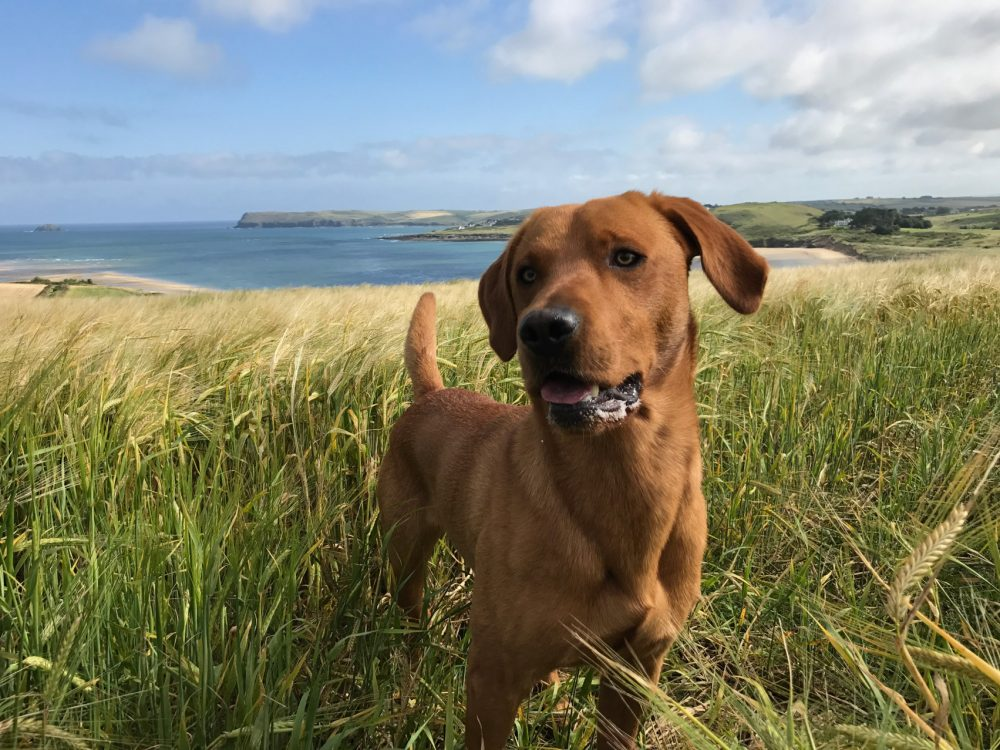 Dog stood in a field overlooking the Camel Estuary