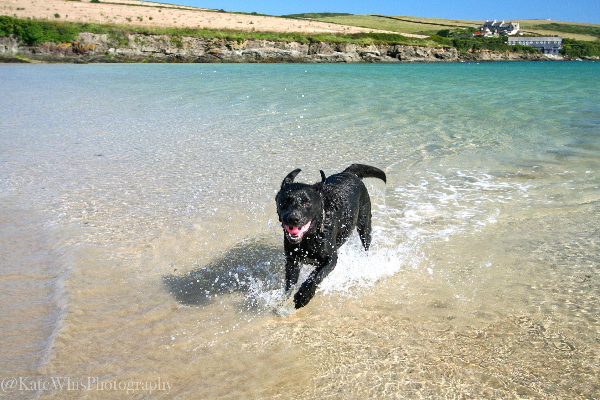 Dog in the sea at Tregirls