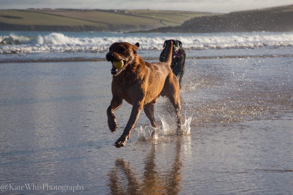 Dogs running out ion the sea at Harlyn
