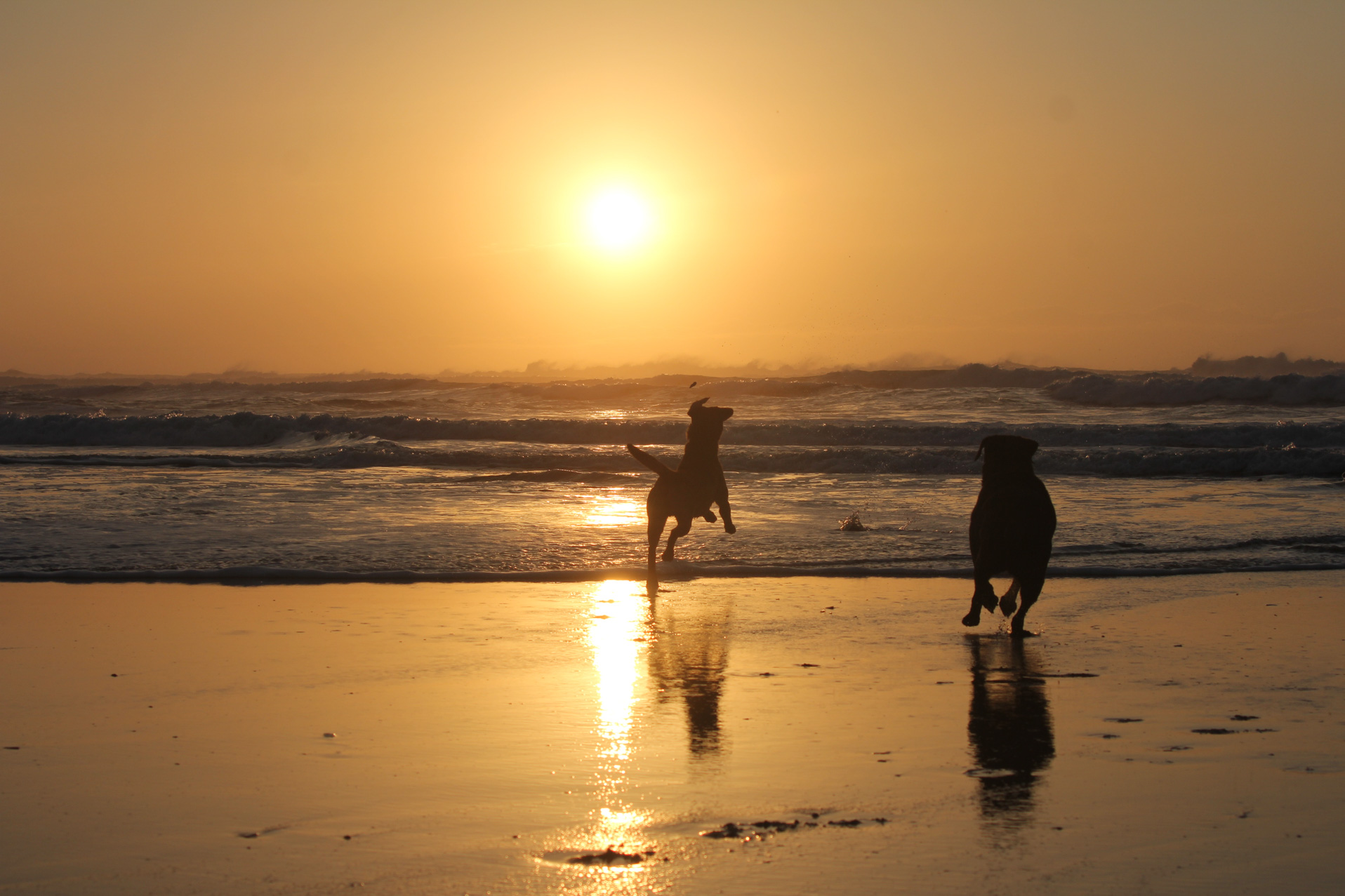 dogs running into the sea at sunset in Treyarnon