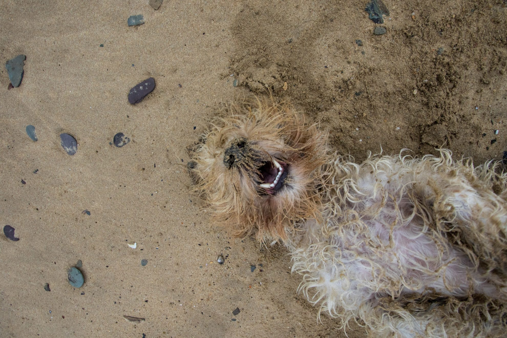 Dog rolling on his back on the beach during a beach location dog photoshoot