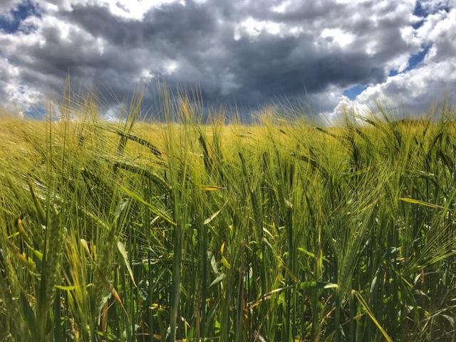 barley field with black clouds behind